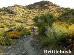 Brittlebrush