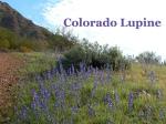 Colorado Lupine