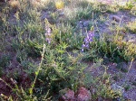 First Lupines